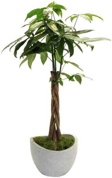 DOMINIK Zimmerpflanze »Glückskastanie«, Höhe: 60 cm, 1 Pflanze im Dekotopf