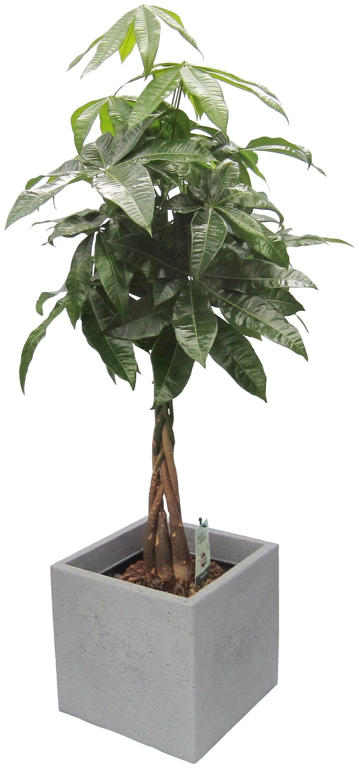 DOMINIK Zimmerpflanze »Pachira«, Höhe: 60 cm, 1 Pflanze im Dekotopf