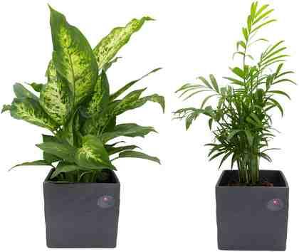 Zimmerpflanze »Palmen-Set«, Höhe: 30 cm, 2 Pflanzen in Dekotöpfen