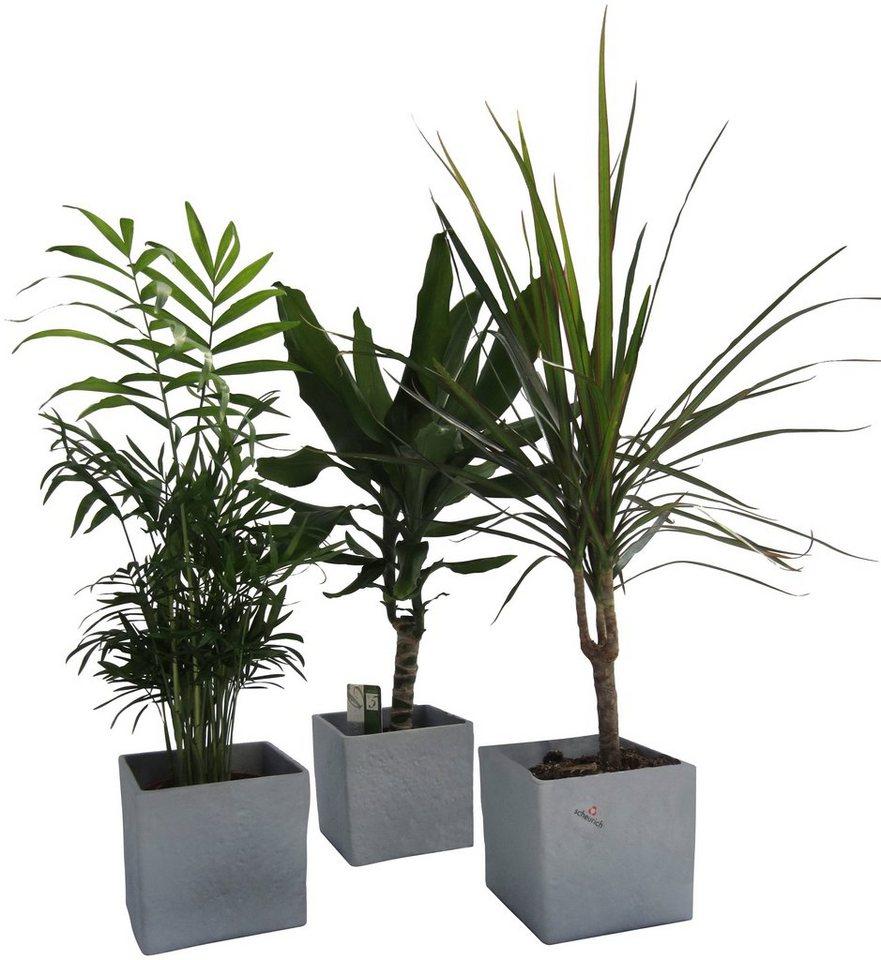 DOMINIK Zimmerpflanze »Palmen-Set«, Höhe: 30 cm, 3 Pflanzen in Dekotöpfen  online kaufen | OTTO