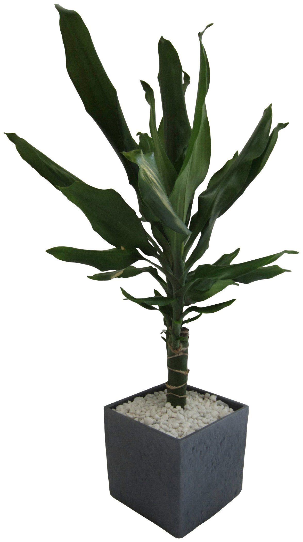DOMINIK Zimmerpflanze »Drazene«, Höhe: 30 cm, 1 Pflanze im Dekotopf
