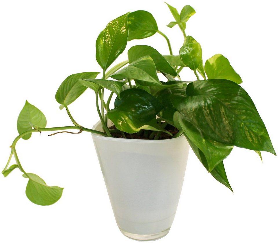 Dominik zimmerpflanze efeutute h he 30 cm 1 pflanze im dekotopf online kaufen otto - Zimmerpflanze robust pflegeleicht ...