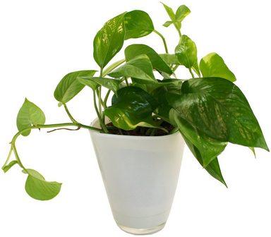 DOMINIK Zimmerpflanze »Efeutute«, Höhe: 30 cm, 1 Pflanze im Dekotopf