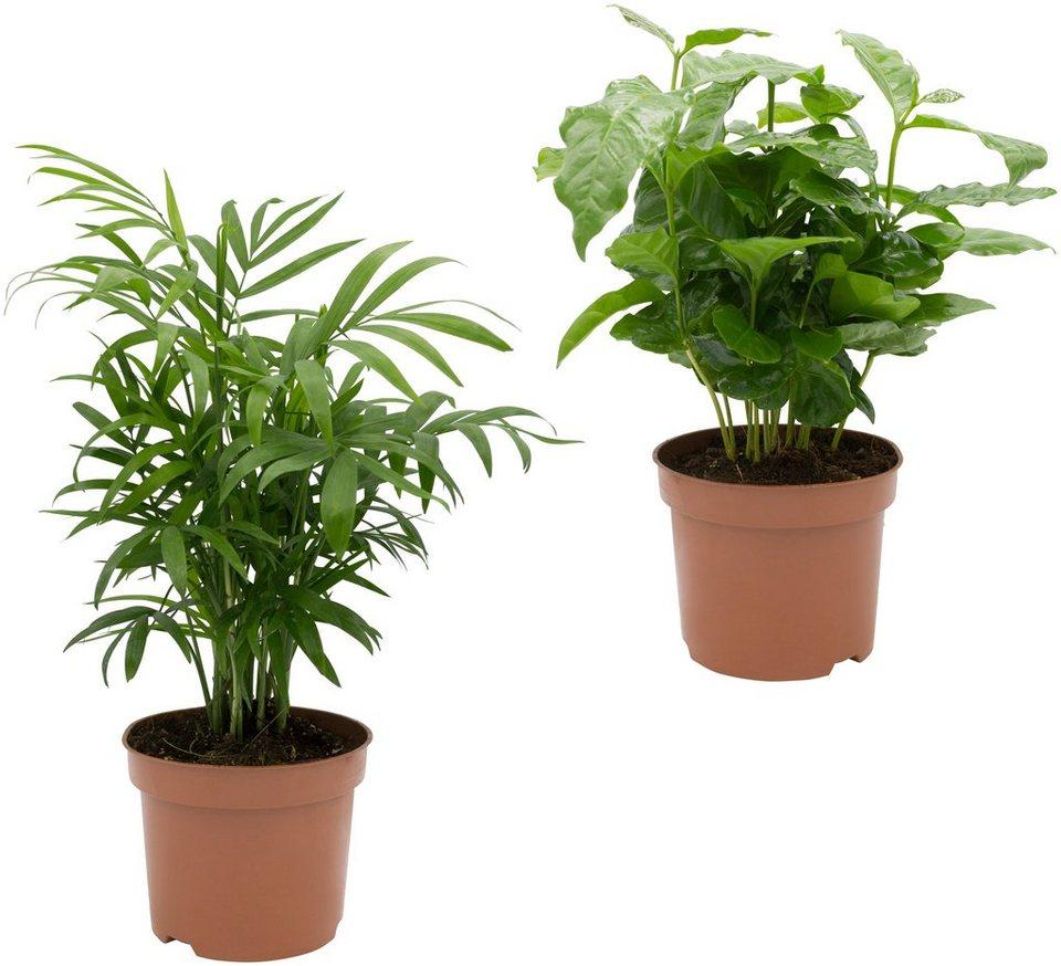 dominik zimmerpflanze palmen set h he 30 cm 2 pflanzen online kaufen otto. Black Bedroom Furniture Sets. Home Design Ideas