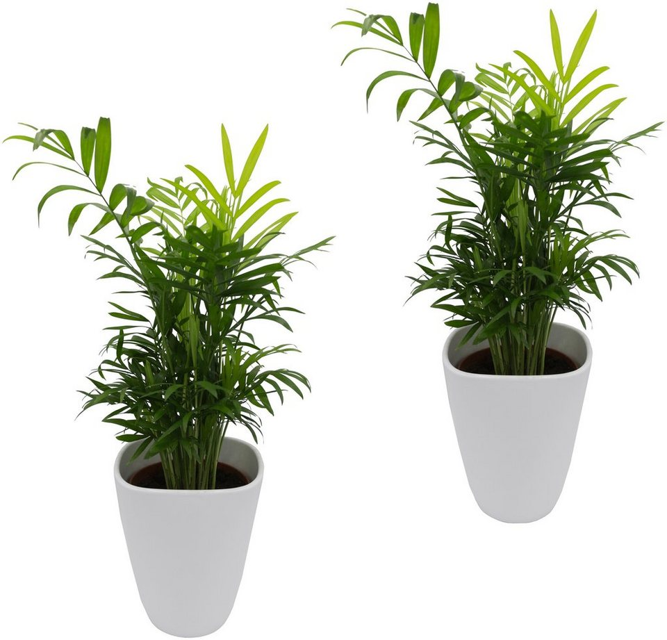 DOMINIK Zimmerpflanze »Palmen-Set«, Höhe: 30 cm, 2 Pflanzen in Dekotöpfen  online kaufen | OTTO