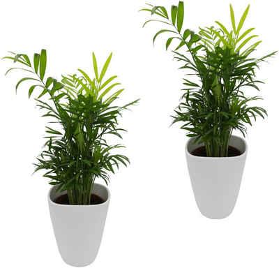 DOMINIK Zimmerpflanze Palmen Set Hohe 30 Cm 2 Pflanzen In