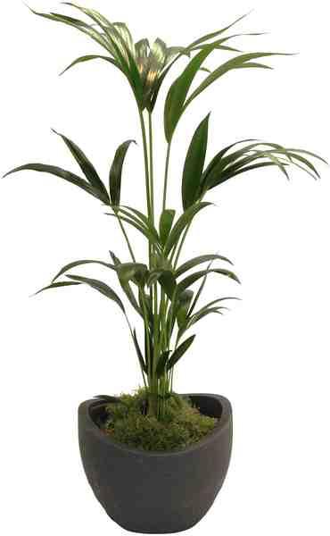 Zimmerpflanze »Kentia-Palme«, Höhe: 60 cm, 1 Pflanze im Dekotopf
