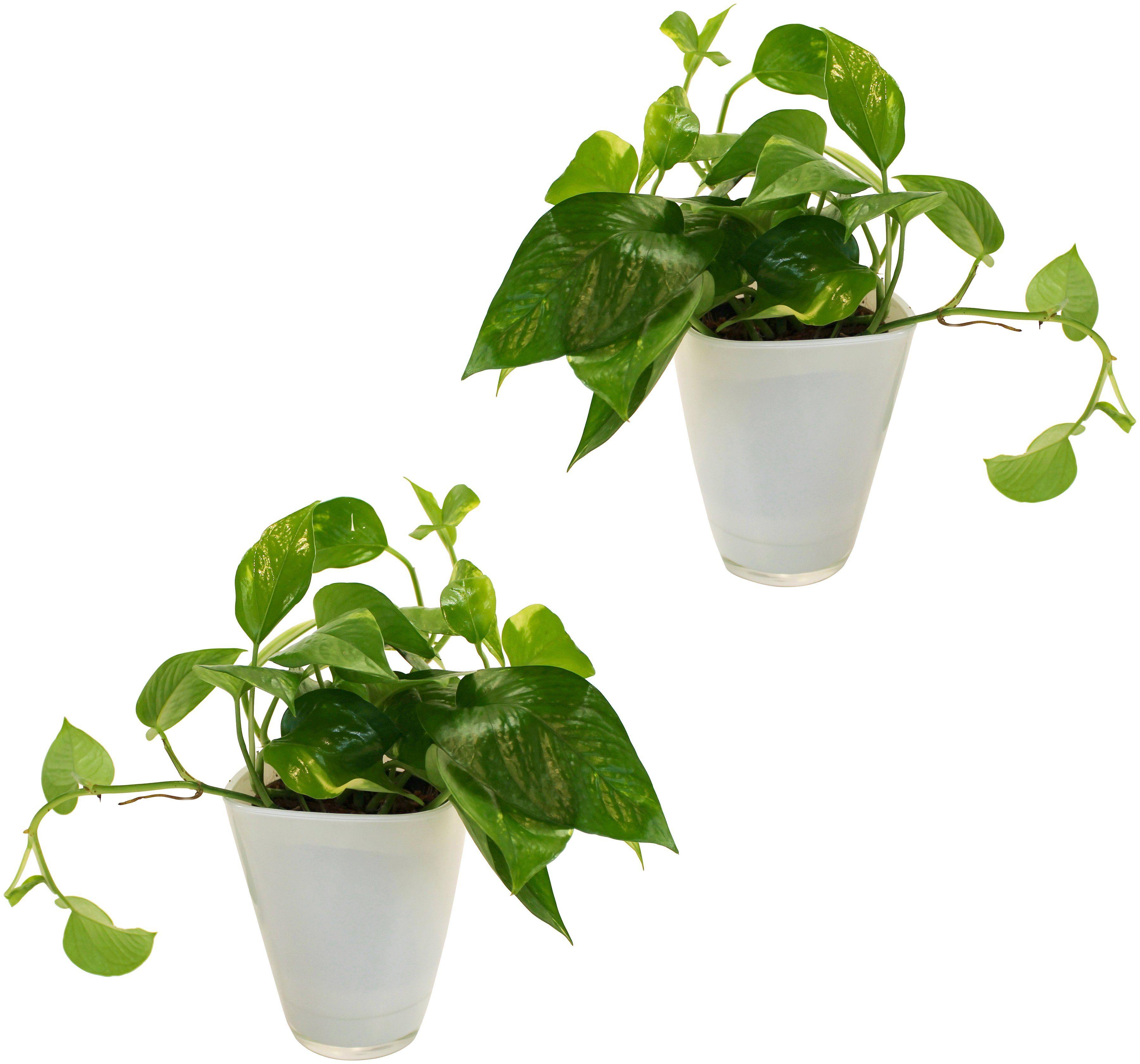 DOMINIK Zimmerpflanze »Efeututen«, Höhe: 30 cm, 2 Pflanzen in Dekotöpfen