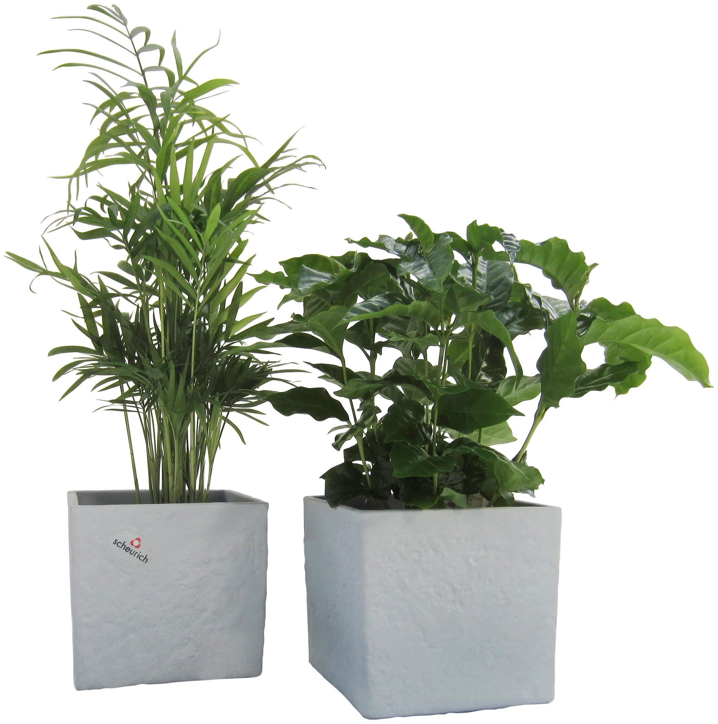 Zimmerpflanze »Palmen-Set«, Höhe: 15 cm, 2 Pflanzen in Dekotöpfen