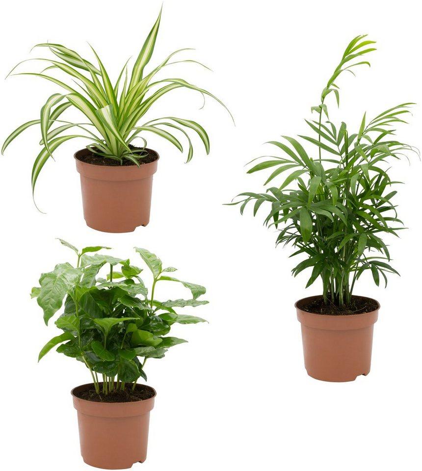 DOMINIK Zimmerpflanze »Palmen-Set«, Höhe: 15 cm, 3 Pflanzen online kaufen |  OTTO