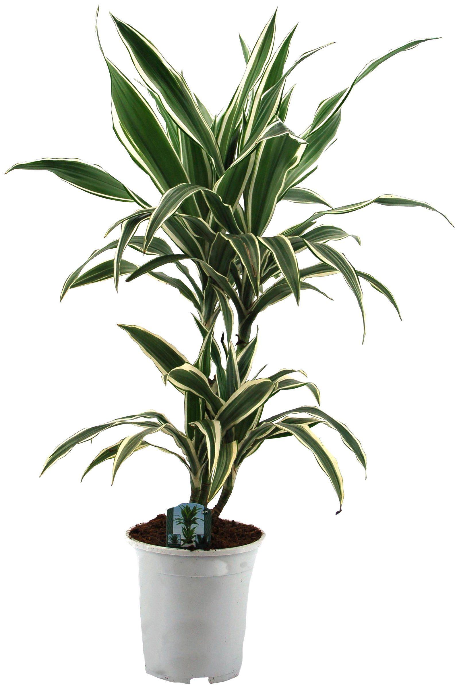 Zimmerpflanze »Drazena«, Höhe: 50 cm, 1 Pflanze