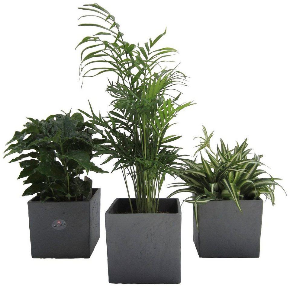 dominik zimmerpflanze palmen set h he 15 cm 3. Black Bedroom Furniture Sets. Home Design Ideas
