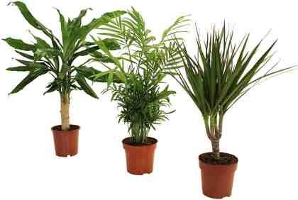 DOMINIK Zimmerpflanze »Palmen-Set«, Höhe: 30 cm, 3 Pflanzen