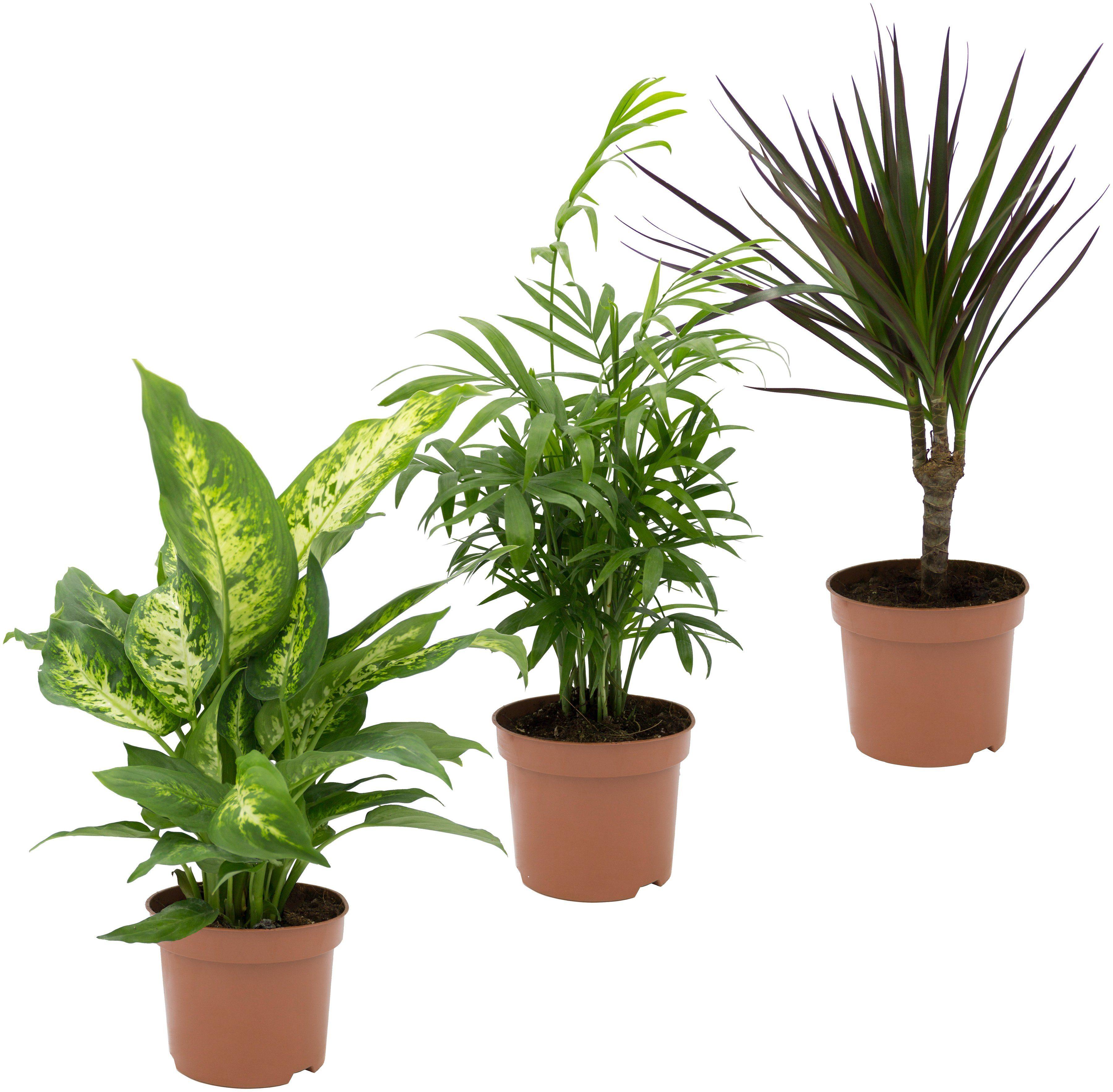 Zimmerpflanze »Grünpflanzen-Set«, Höhe: 30 cm, 3 Pflanzen