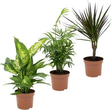 dominik zimmerpflanze gr npflanzen set h he 30 cm 3 pflanzen online kaufen otto. Black Bedroom Furniture Sets. Home Design Ideas