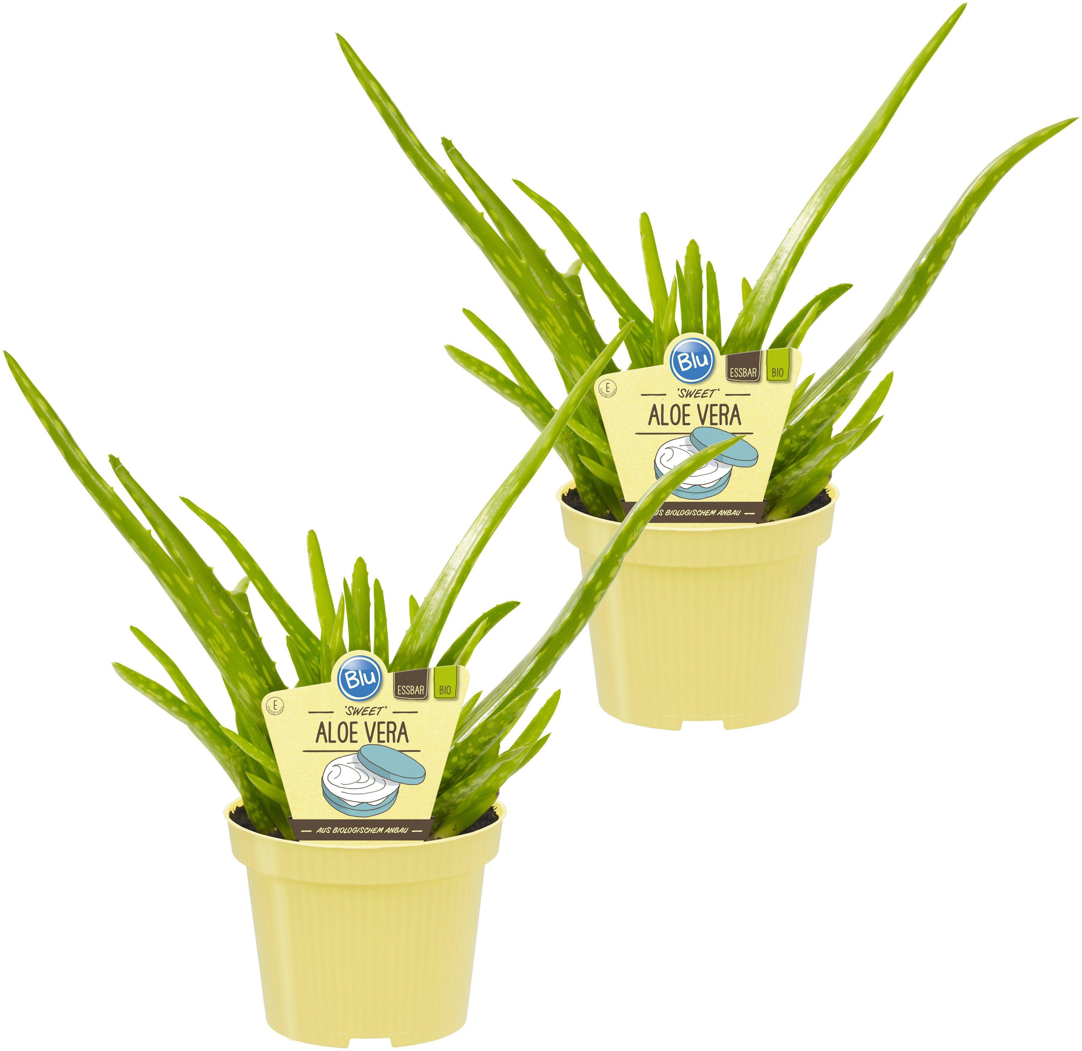 DOMINIK Zimmerpflanze »Echte Aloe Sweet«, Höhe: 15 cm, 2 Pflanzen