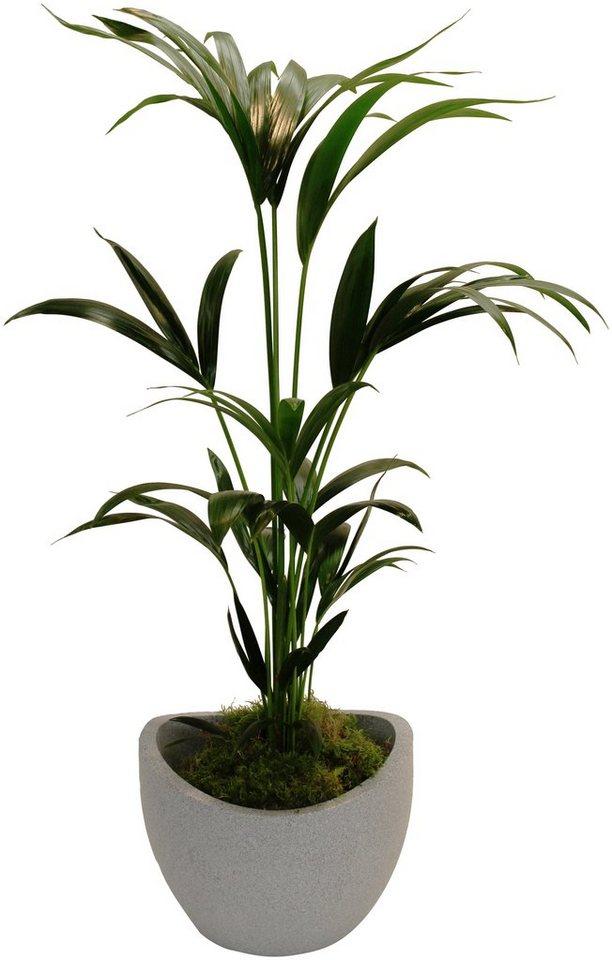 Zimmerpflanzen Palme dominik zimmerpflanze kentia palme höhe 60 cm 1 pflanze im