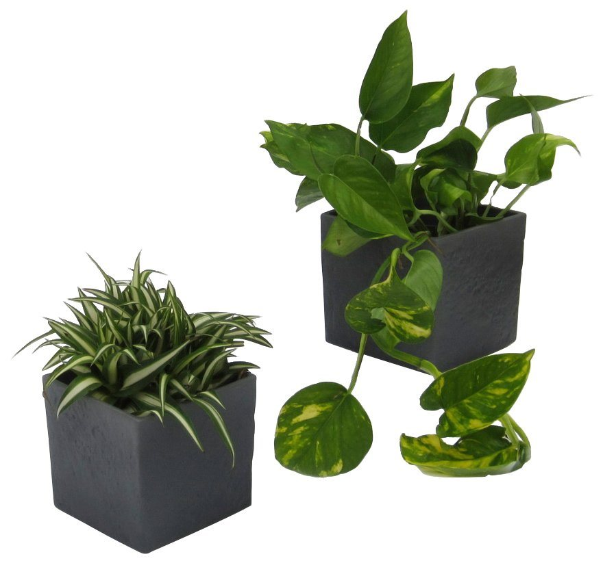 dominik zimmerpflanze gr npflanzen set h he 15 cm 2. Black Bedroom Furniture Sets. Home Design Ideas