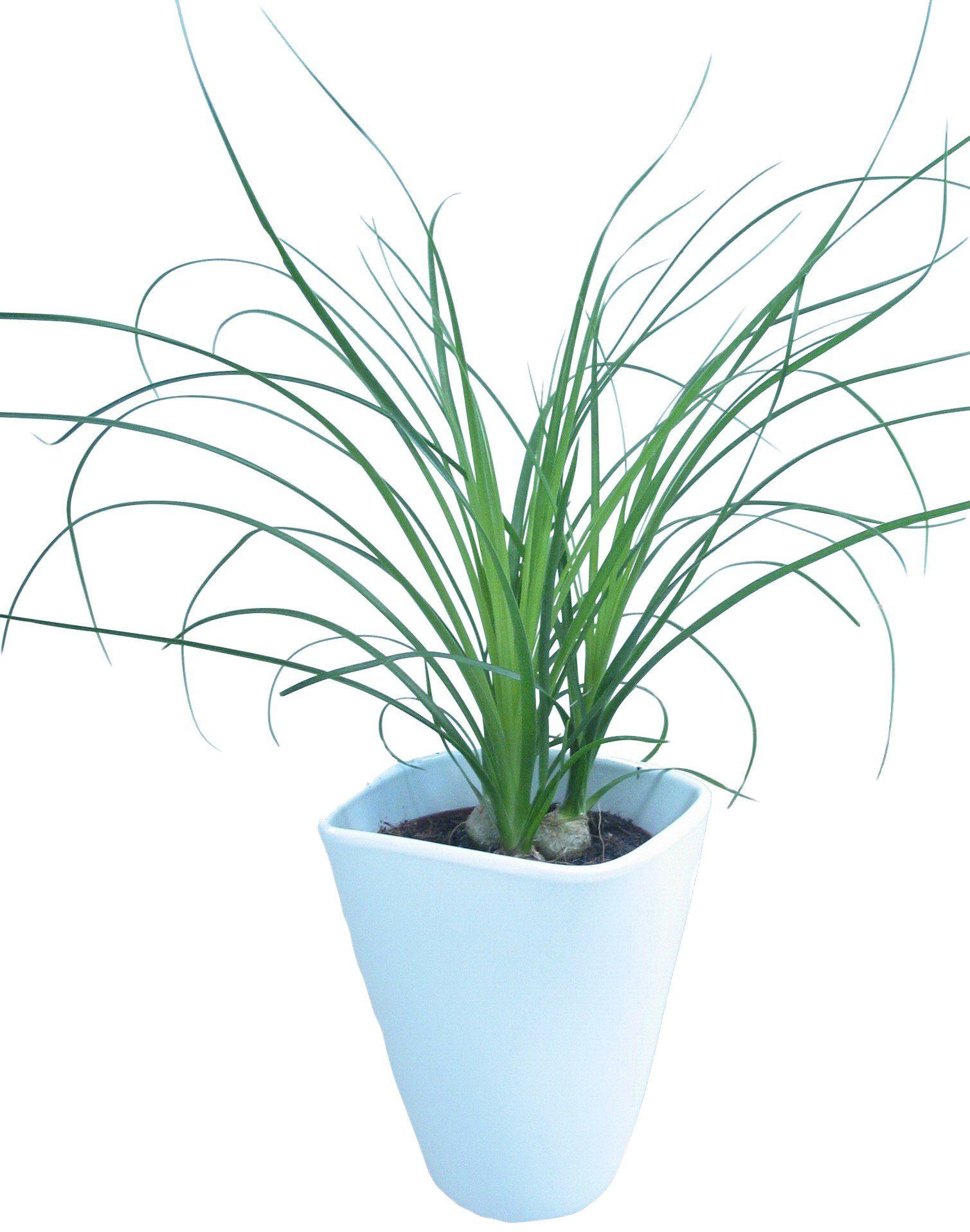 DOMINIK Zimmerpflanze »Elefantenfuß«, Höhe: 30 cm, 1 Pflanze im Dekotopf