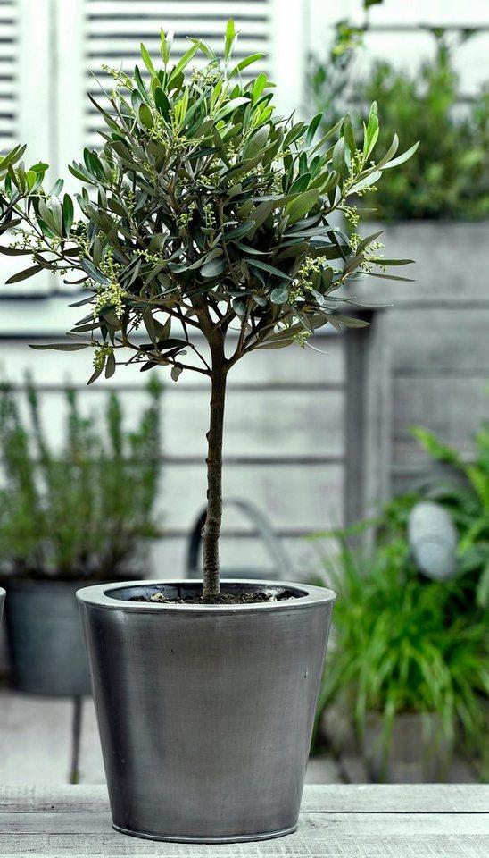 zimmerpflanze oliven st mmchen h he 60 cm 1 pflanze. Black Bedroom Furniture Sets. Home Design Ideas