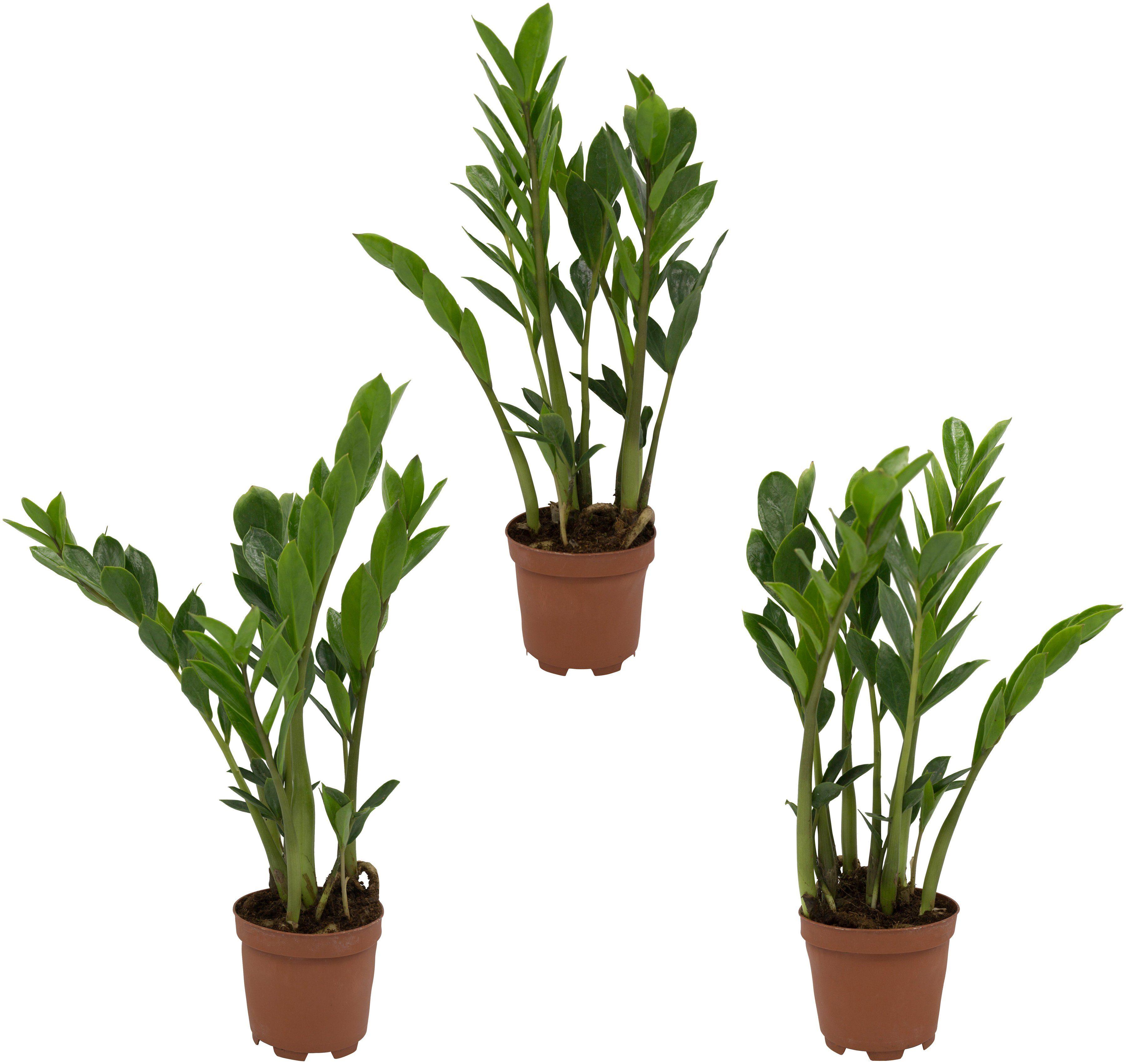 DOMINIK Zimmerpflanze »Zamioculcas-Set«, Höhe: 30 cm, 3 Pflanzen