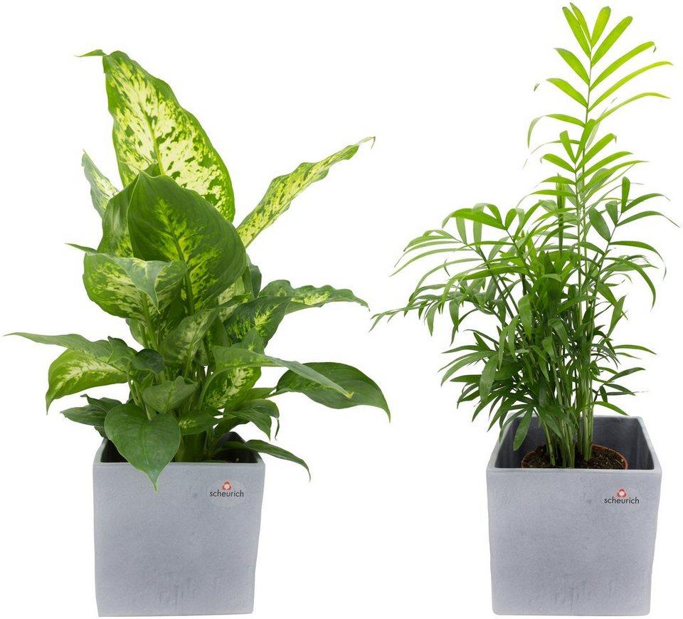 dominik zimmerpflanze gr npflanzen set h he 30 cm 2. Black Bedroom Furniture Sets. Home Design Ideas