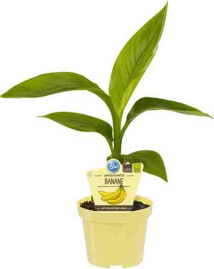 Zimmerpflanze »Japanische Faserbanane«, Höhe: 20 cm, 1 Pflanze