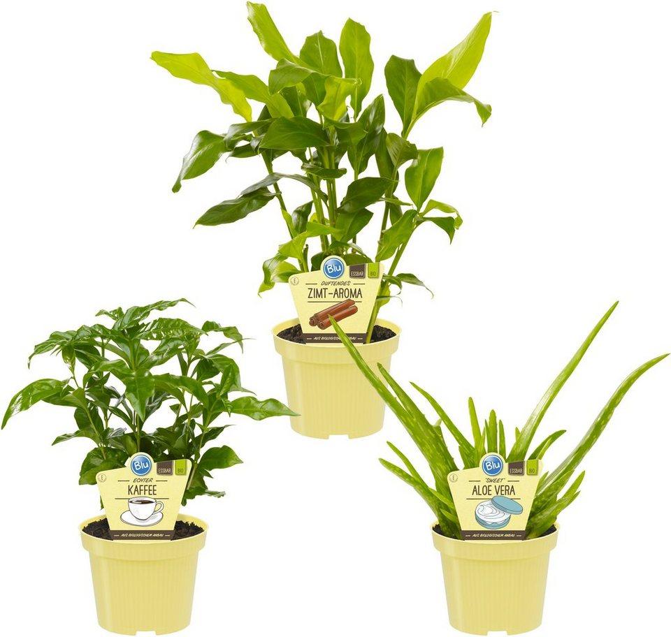 dominik zimmerpflanze gr npflanzen set h he 15 cm 3 pflanzen online kaufen otto. Black Bedroom Furniture Sets. Home Design Ideas