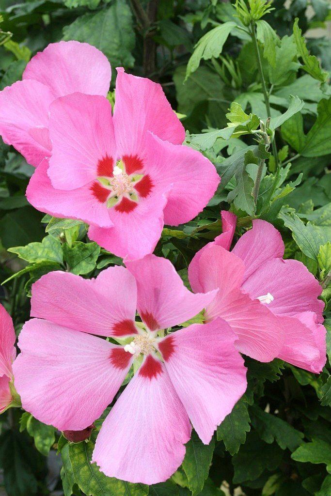 BCM Hibiscus »Woodbridge«, Höhe: 80 cm, 1 Pflanze