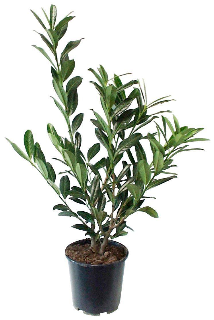 Hecke »Kirschlorbeer«, 4 Pflanzen