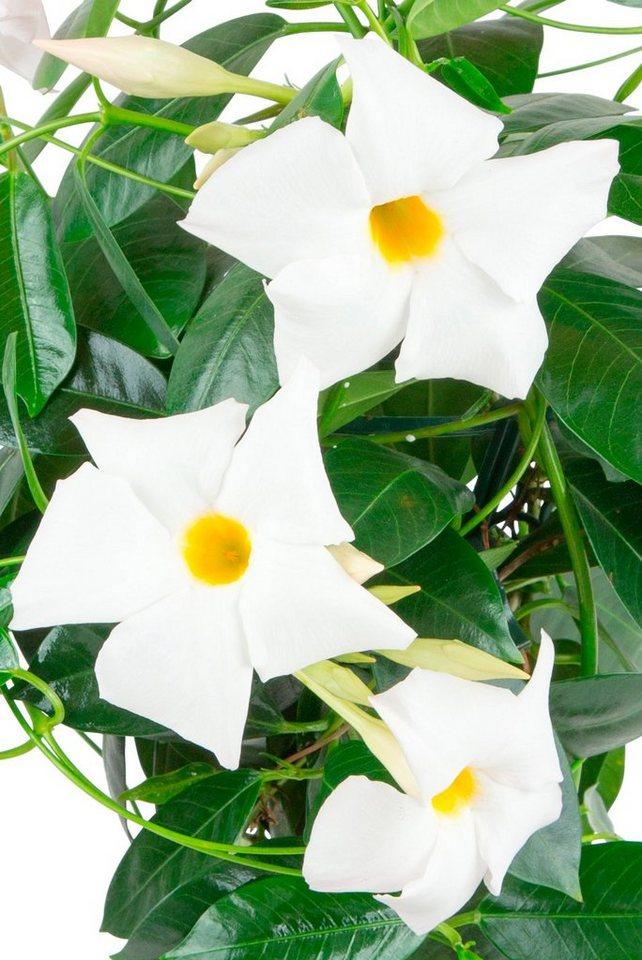 bcm beet balkonpflanze diamantina jade white hoehe