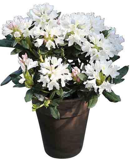 BCM Rhododendron »Cunninghams White«, Höhe: 15 cm, 4 Pflanzen