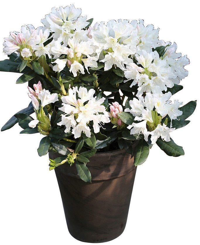 BCM Rhododendron »Cunninghams White«, Höhe: 40 cm, 2 Pflanzen
