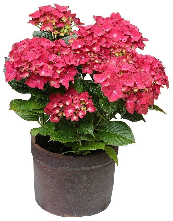 BCM Hortensie »Leuchtfeuer«, Höhe: 30-40 cm, 2 Pflanze