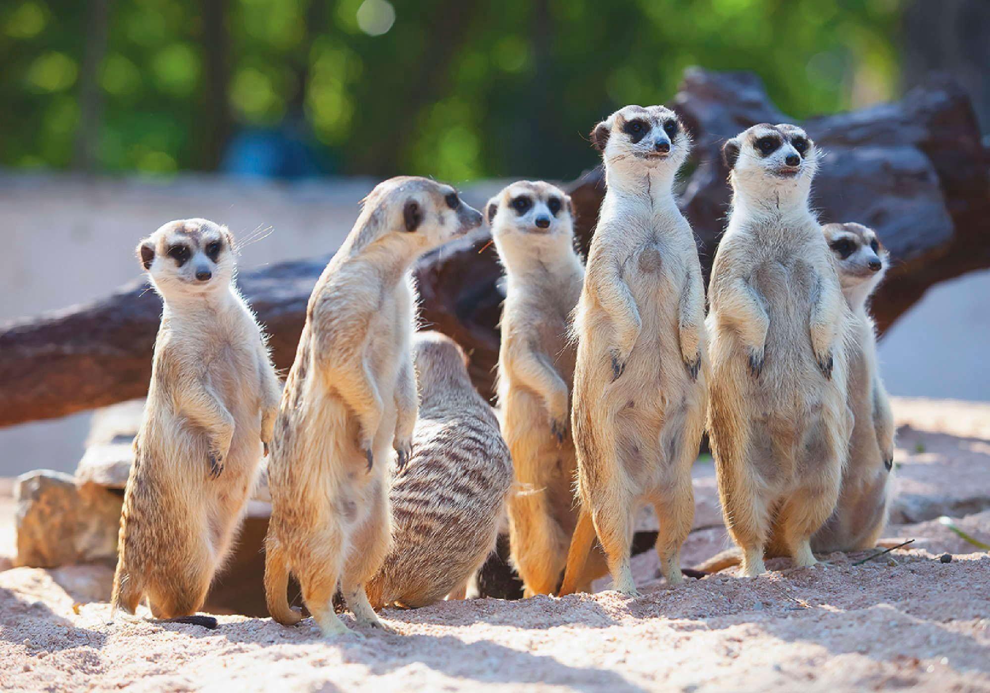Home affaire Leinwandbild »Erdmännchen-Familie beim Sonnenbaden«, 70/50 cm