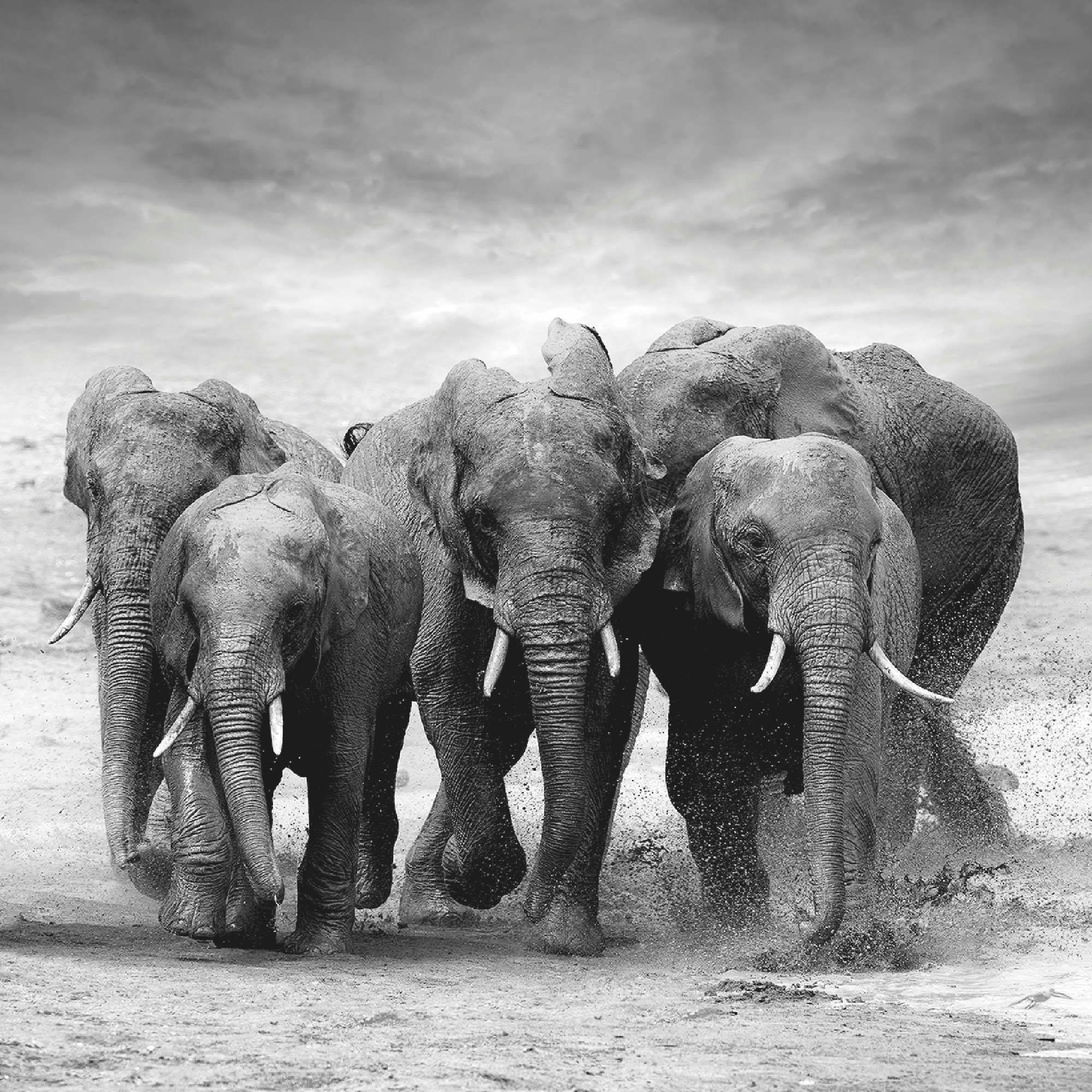Home affaire Glasbild »V. Burdiak: Elefanten in Afrika«, Elefanten, 50/50 cm