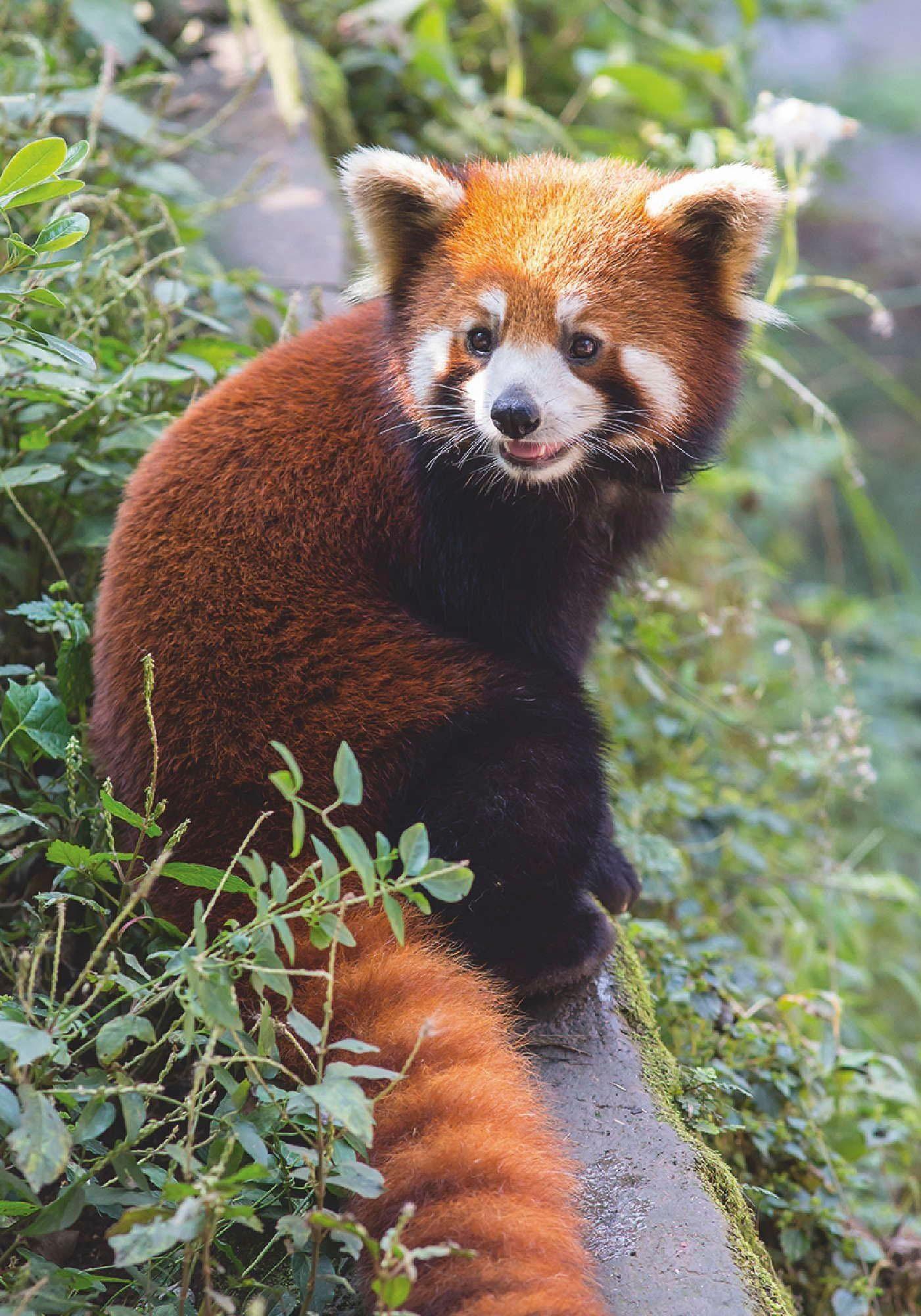 Home affaire Leinwandbild »Vassiliy: Panda im chinesischen Stadtpark«, 50/70 cm