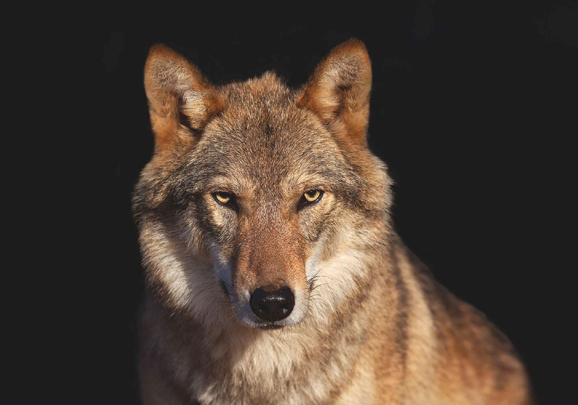 Home affaire Leinwandbild »Auge in Auge - Porträt mit Wolf«, Tiermotiv, 70/50 cm