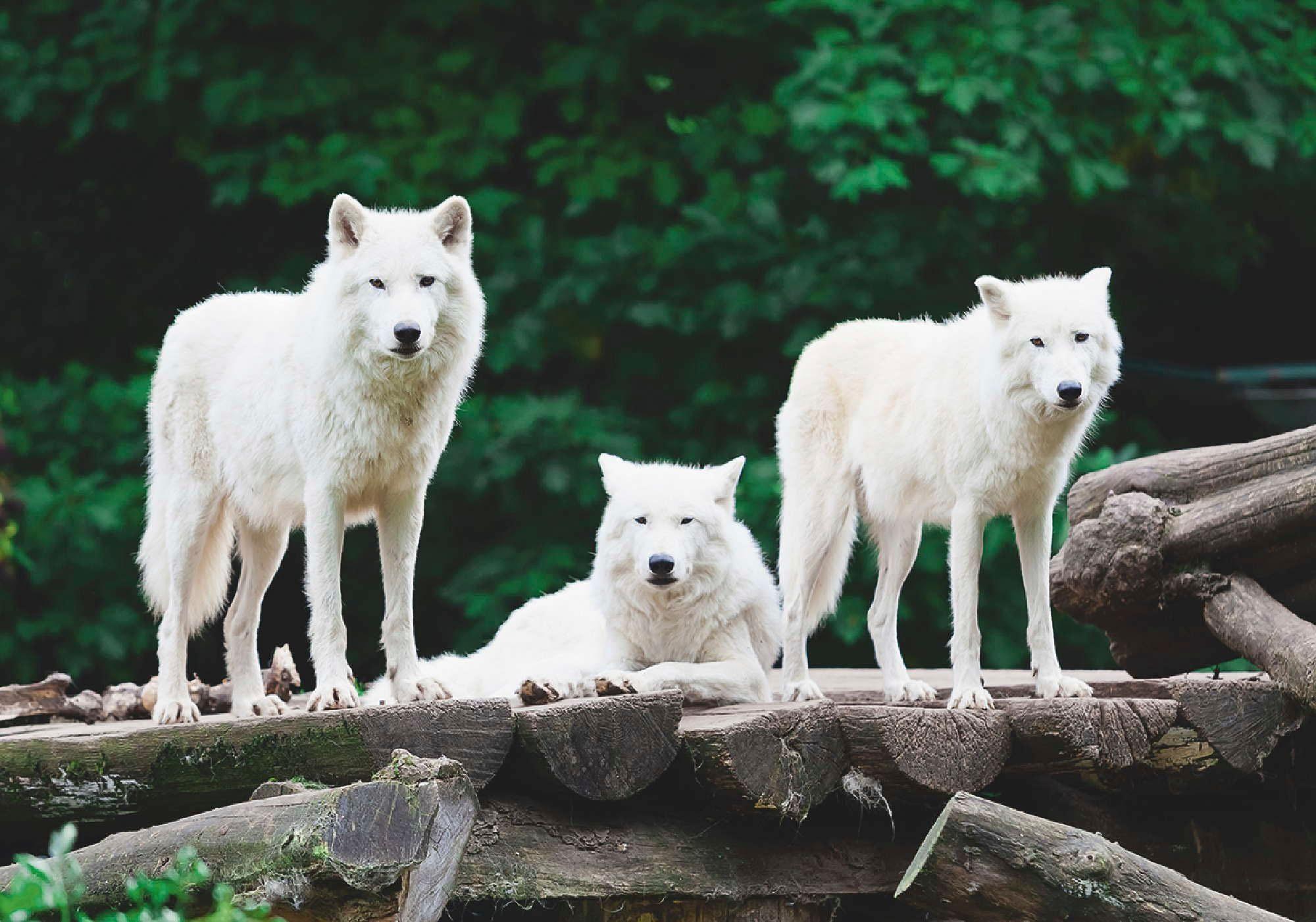 Home affaire Leinwandbild »Arktische Wölfe«, 70/50 cm