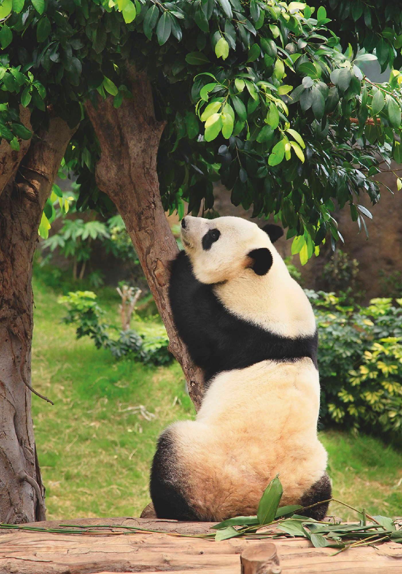 Home affaire Leinwandbild »Großer Panda im Zoo Hongkong«, Tiermotiv, 50/70 cm