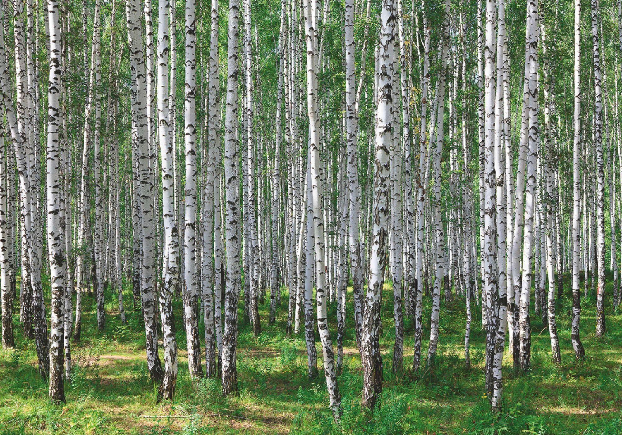 Home affaire Leinwandbild »Birkenwald im Sommer«, 100/70 cm