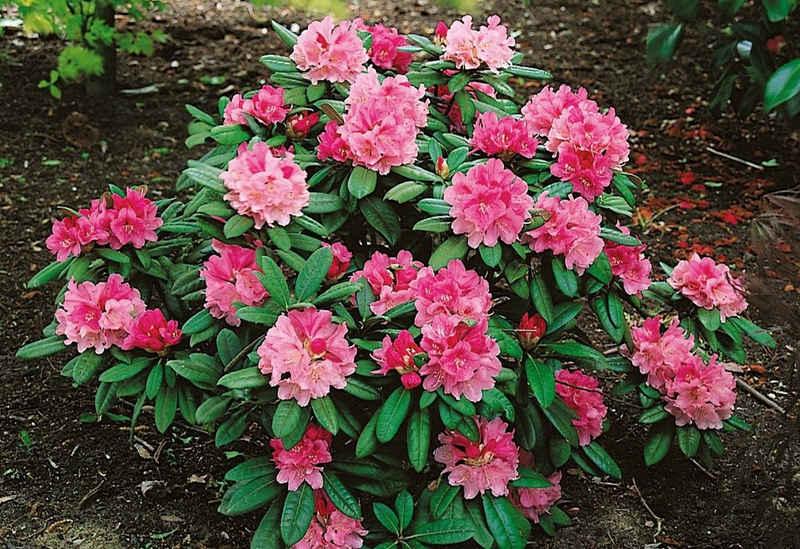 BCM Hecken »Rhododendron Herbstzauber«