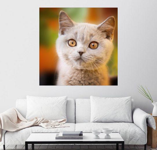 Posterlounge Wandbild - Janina Bürger »Britisch Kurzhaar Kitten Portrait«