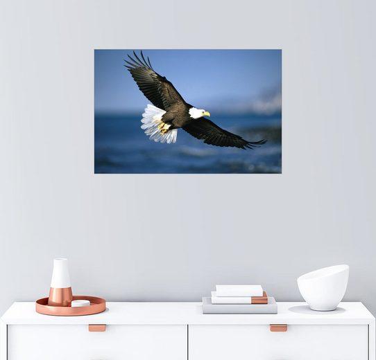 Posterlounge Wandbild - Klaus Nigge »Amerikanischer Weißkopfseeadler im Flug«