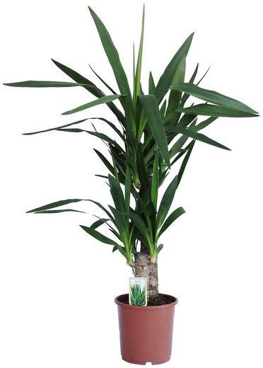 DOMINIK Zimmerpflanze »Yucca-Palme«, Höhe: 60 cm, 1 Pflanze