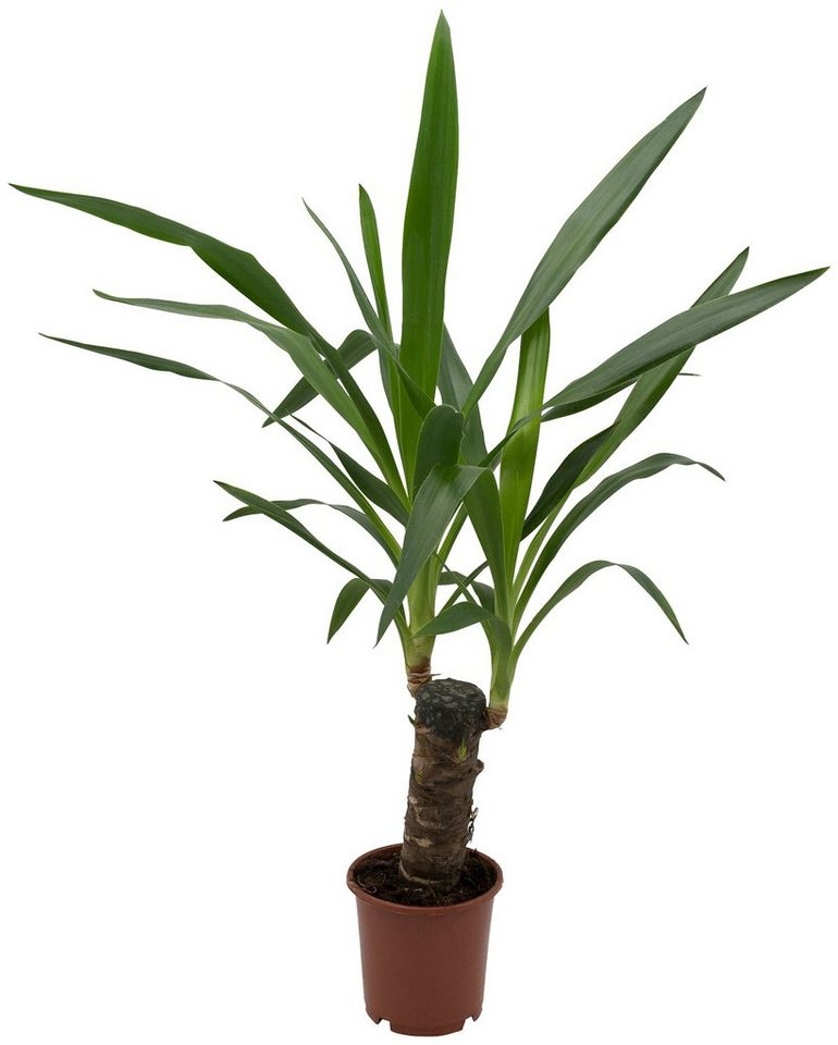 Dominik zimmerpflanze yucca palme h he 30 cm 1 for Zimmer yucca palme bluht