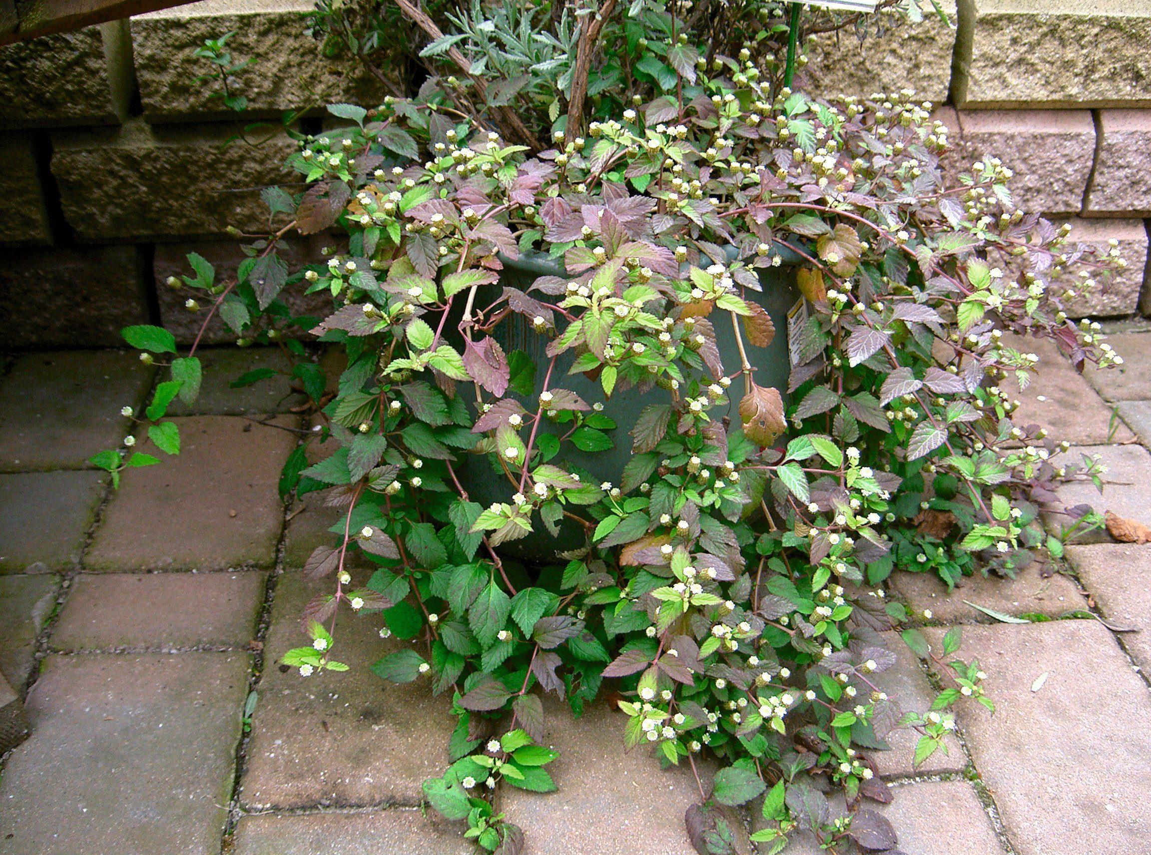VOLMARY Kräuter »Aztekisches Süßkraut«, Höhe: 25 cm, 3 Pflanzen