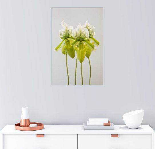 Posterlounge Wandbild - John Doornkamp »Paphiopedilum maudiae Femma Orchidee«