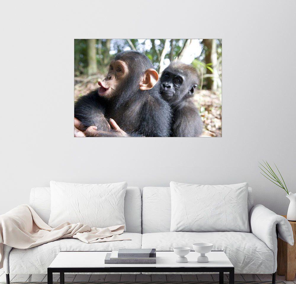 Posterlounge Wandbild - Michael Poliza »Ein Baby-Gorilla umarmt einen kleinen Schimpa...«