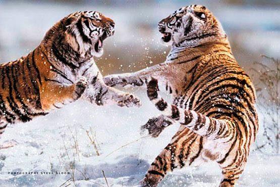 Deco Panel »Sibirische Tiger« 90/60 cm